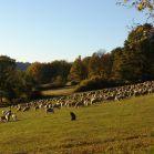 Schaffherde auf der herbstlichen Feldflur